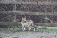 1-3-2014 coyote in the arena_8089.JPG