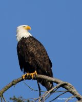 1-14-2015 bald eagle pine st_0982.JPG