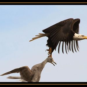 Bald Eagle Carrying Gull