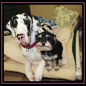 My Great Dane Perdi and her BFF Miley