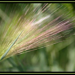 Bearded Grass