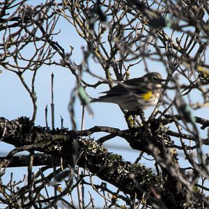 Winter Yellow Rummped Warbler