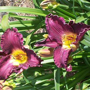new variety of Day lily