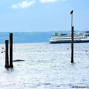 a gray whale -eagle-and-ferry