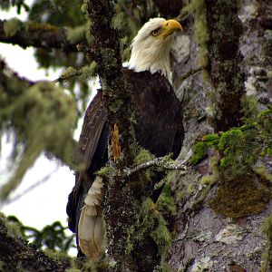 Chito Beach bald eagle