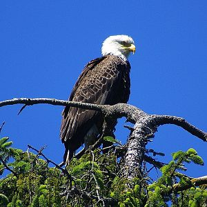 Bald Eagle at Ship wreck point