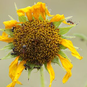 Sunflower and ants