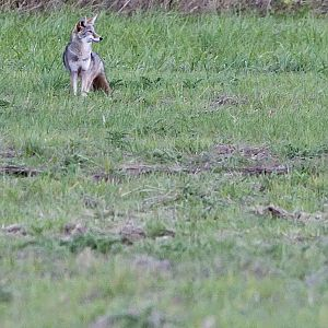 Lone Wolf . . . I mean coyote