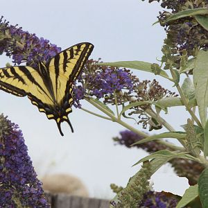 How the butterfly bush got it's name