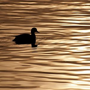 duck in silhouette