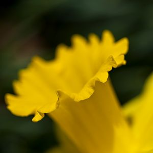 Edge of the Daff