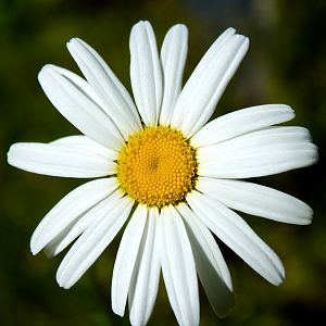 Simple Daisy