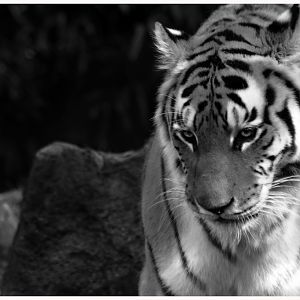 Amur Tiger  at the Oregon Zoo