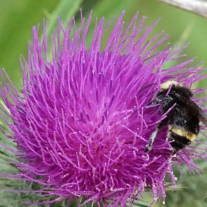 Bumbebee On Thistle