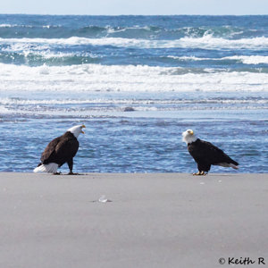 Adult Bald Eagles